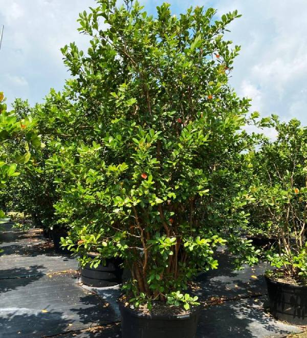 65 gallons Cattley Guava at TreeWorld Wholesale