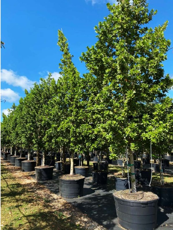 65 gallon green buttonwood at TreeWorld Wholesale