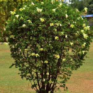 weed control Bauhinia tomentosa