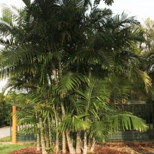Dypsis cabadae (Cabada Palm)