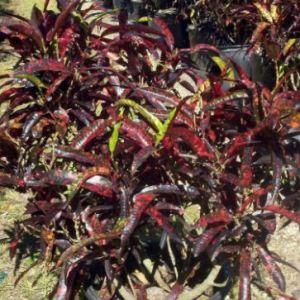 Codiaeum variegatum (Franklin Roosevelt)
