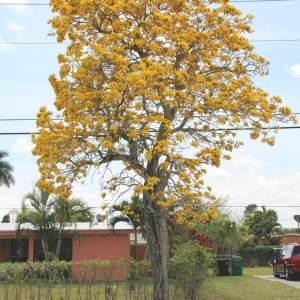 Tabebuia caraiba (Yellow Trumpet)