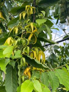 application of trees Leaves_YlangYlang_treewordl_wholesale