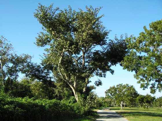 specimen jamaican dogwood at TreeWorld Wholesale