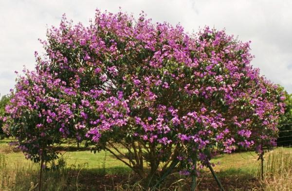 tibouchina granulosa (purple glory tree)
