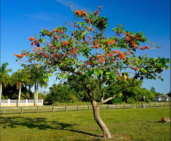 Planted Butea Monosperma