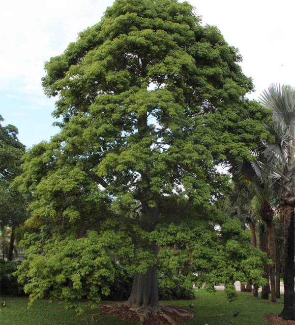 Adansonia Digitata or African Baobab