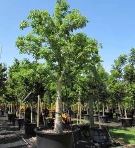 Adansonia Digitata (African Baobab)