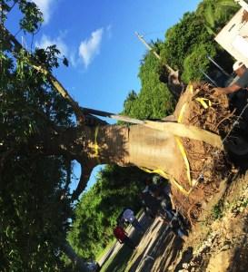 plant a tree in South Florida Adansonia Digitata (African Baobab) roots