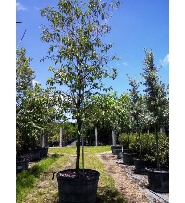 barbados cherry tree -45gal to 50gal at TreeWorld Wholesale