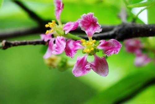 barbados cherry tree -flower