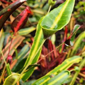 Codiaeum Variegatum (Croton Golden Bell)