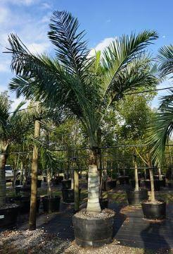 Pseudophoenix Sargentii (Buccaneer Palm)