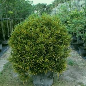 codiaeum-variegatum-croton-gold-star