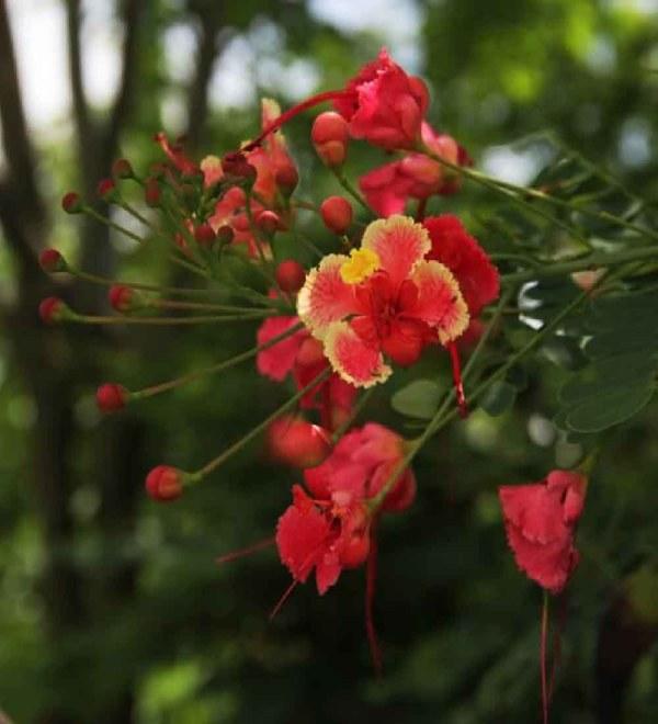 flower-caesalpiniapulcherrima-dwarfpoinciana-TreeWorld Wholesale