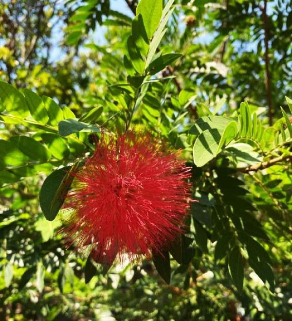 Flower-Calliandra Hematocephala at TreeWorld Wholesale