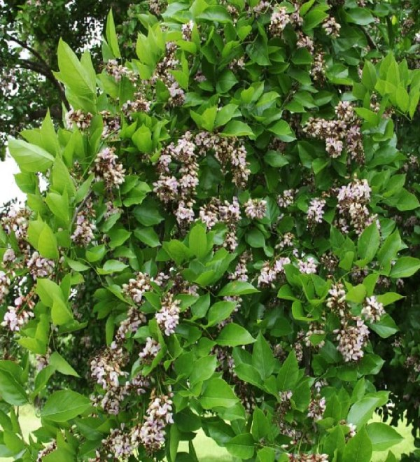 flower-pongamia-pinnata