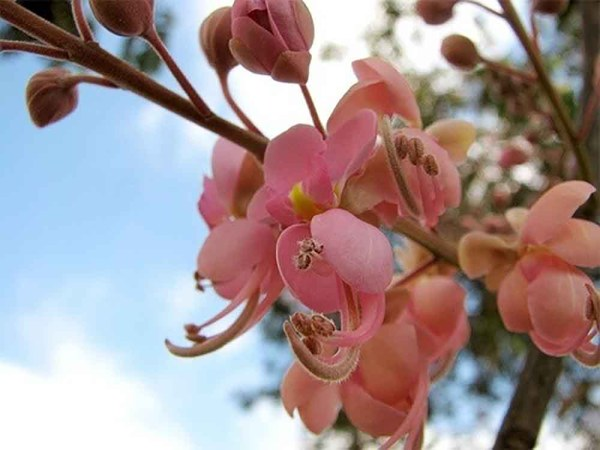 flower_cassiagrandis-coralshower