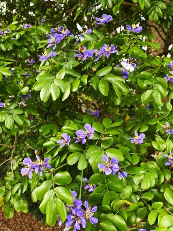 Flower Guaiacum Sanctum