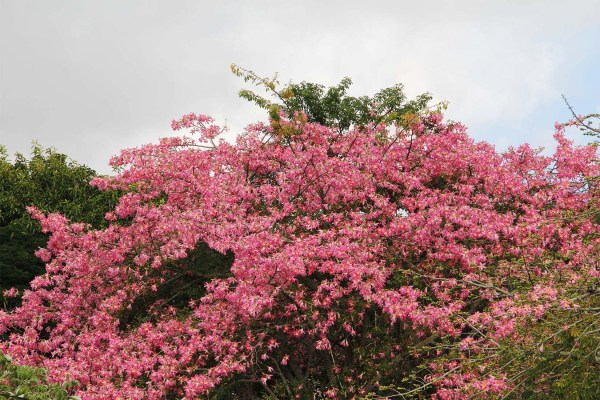 floweringtree_chorisiaspeciosa-flosssilktree