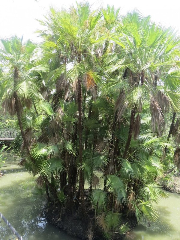 Acoelorrhaphe Wrightii also known as Paroutis or Everglade Palms at TreeWorld Wholesale