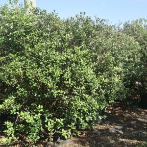 Acca Sellowiana known as Pinneaple Guava or feijoa at TreeWorld Wholesale