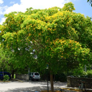 Bulnesia Arborea Specimen