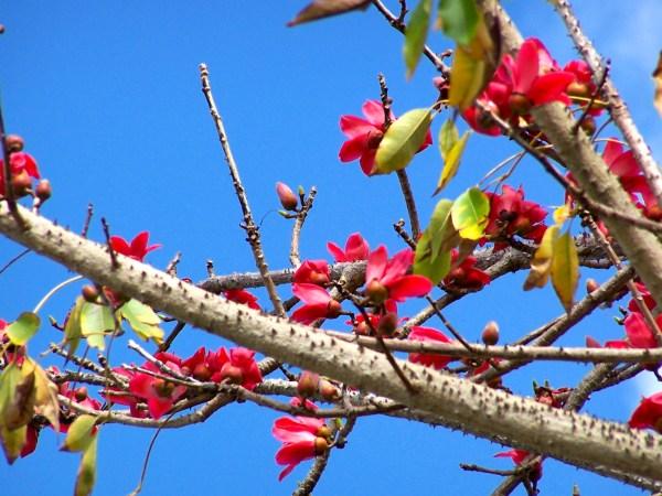 bombax ceiba (red silk cotton) flower