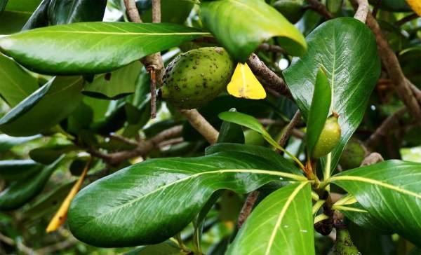 Genipa Clusifolia Leaf