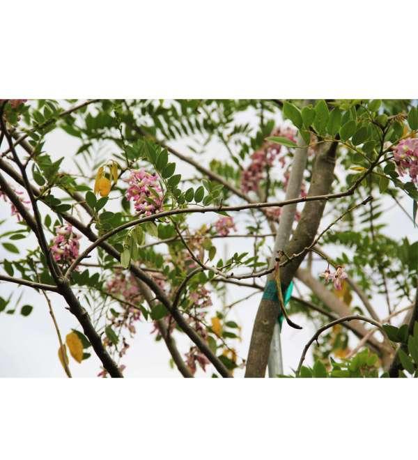 Gliricidia Sepium Flower