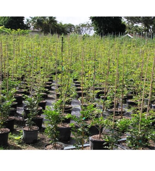 15 gallons Guaiacum Sanctum bush at TreeWorld Wholesale