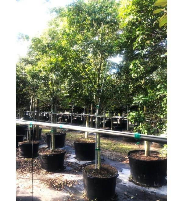 50 gallons Inkwood at TreeWorld Wholesale