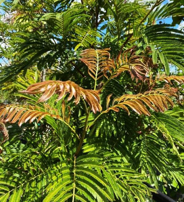 leaf pithecilobium -arborea lorito