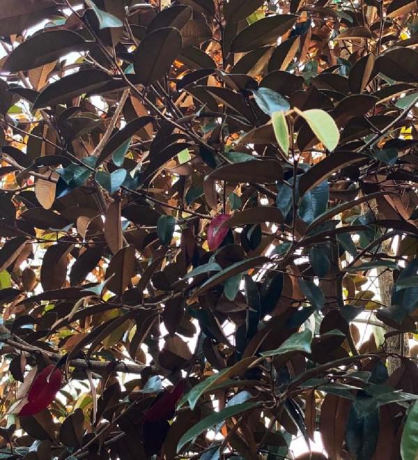 leaf detail of satinleaf-copper green