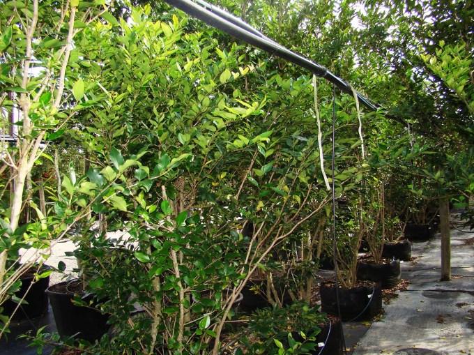 igustrumjaponicum-leaves1