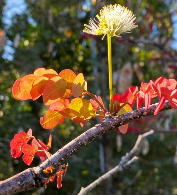 lysolomasabicu-newflush-leaves