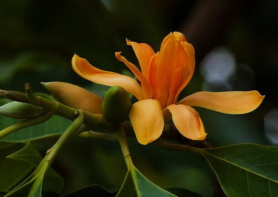 michelia champaca known as orange champaca flower