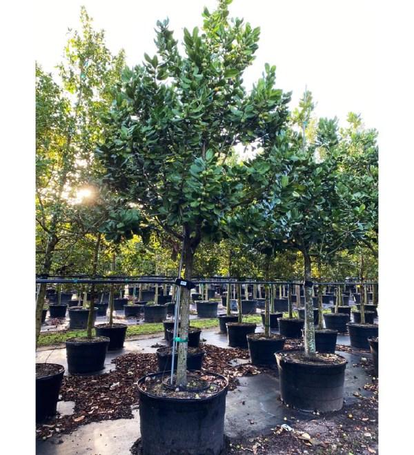 mimsoptree-100gal