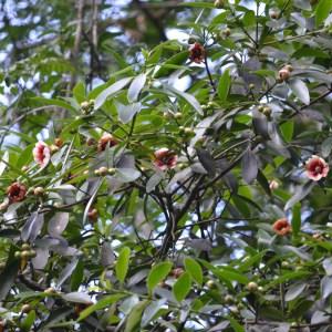 Clusia Lanceolata (Porcelain Flower)