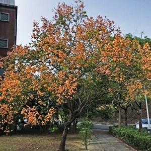 original-chines-rain tree-golden-rain-tree-koelreuteria-elegansjpg