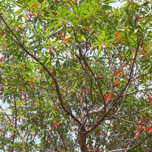 Elaeocarpus decipiens (Japanese Blueberry)