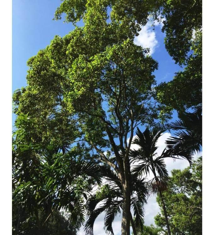 original-sideroxylon-salicifolium-willow-bustic