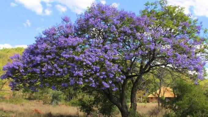 original-specimen- blue jacaranda