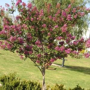 Lagerstroemia indica (Tuscarora) Crape-myrtle