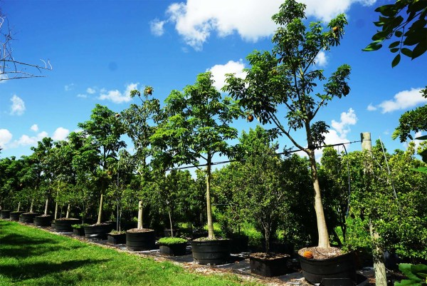 Pachira Aquatica Tree Row at TreeWorld Wholesale