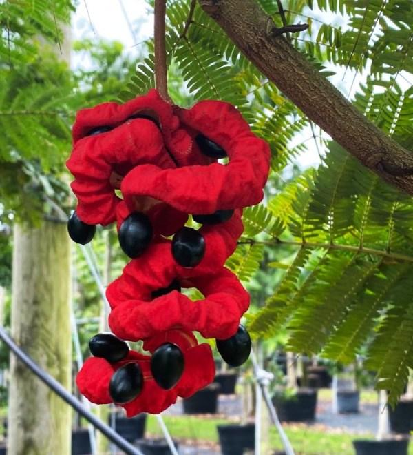 seedpod pithecilobium -arborea lorito