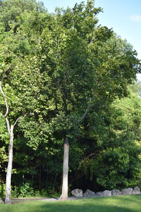 Coccoloba Diversifolia (Pigeon plum)