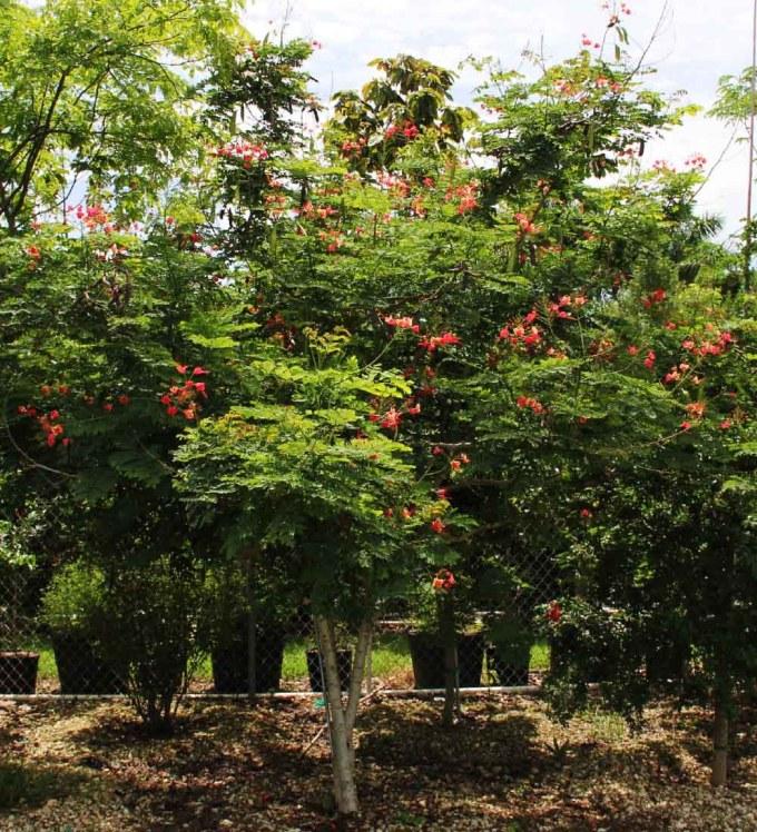 specimen-caesalpiniapulcherrima-dwarfpoinciana-TreeWorldWholesale