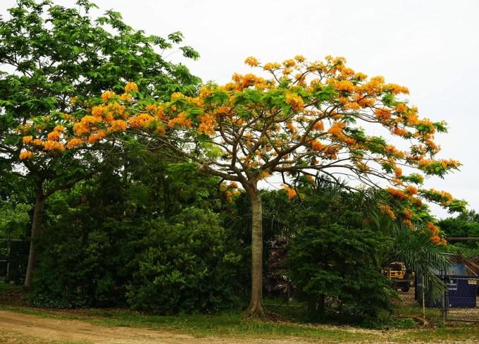 Specimen Peltophorum Dubium also known as Yellow Poinciana