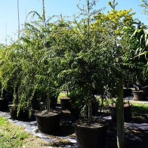 treerow2-poiteaflorida-wattapama at TreeWorld Wholesale